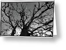 Burr Oak Beauty Greeting Card