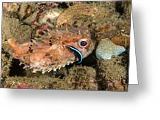 Burrfish And Cleaner Goby Greeting Card