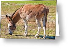 Burro Equus Asinus Greeting Card