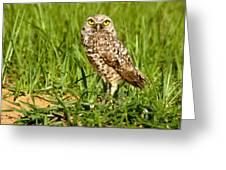Burrowing Owl At It's Burrow Greeting Card