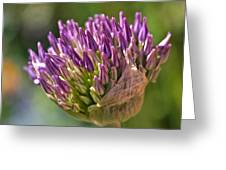 Bursting Allium Purple Sensation Greeting Card