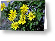 Bush Daisy  Greeting Card