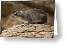 Bush Hyrax 2 Greeting Card