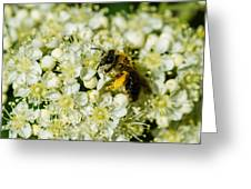 Busy Bee On A Rowan Flowers - Featured 3 Greeting Card