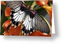 Butterfly 006 Greeting Card