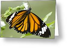Butterfly 009 Greeting Card