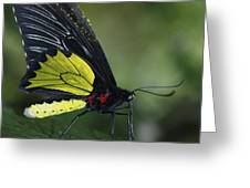 Butterfly 029 Greeting Card