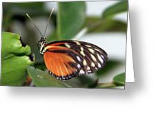 Key West Butterfly 2 Greeting Card