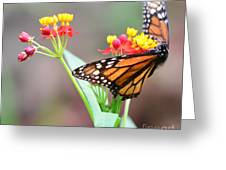 Butterfly Flower - Gossamer Wings Embrace Candy Blossoms Greeting Card