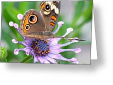 Butterfly On African Daisy Greeting Card