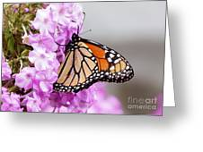 Butterfly On Phlox Flowers Greeting Card