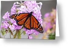Butterfly On Pink Phlox Greeting Card