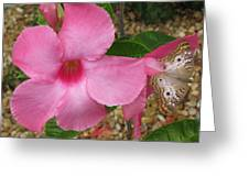 butterfly on the Mandevilla Greeting Card