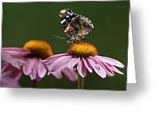 Butterfly Red Admiral On Echinacea Greeting Card