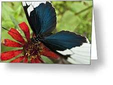 Butterfly Sara Longwing II Greeting Card