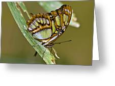 Butterfly Siproeta Stelenes Greeting Card