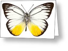 Butterfly Species Cepora Judith  Greeting Card