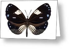 Butterfly Species Euploea Radamanthus Common Name Magpie Crow Greeting Card