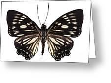 Butterfly Species Euripus Nyctelius Euploeoides  Greeting Card