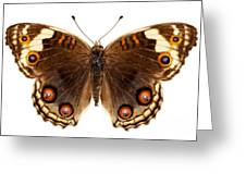 Butterfly Species Junonia Orithya  Greeting Card