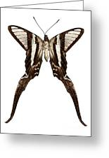 Butterfly Species Lamproptera Curius  Greeting Card