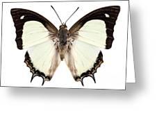 Butterfly Species Polyura Jalysus Greeting Card