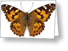 Butterfly Species Vanessa Cardui  Greeting Card