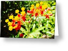 Butterfly Weed 2 Greeting Card