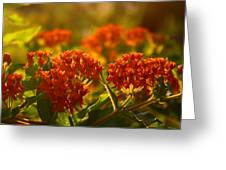 Butterfly Weed In The Sunset Greeting Card