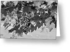 Bw Hanging Thompson Grapes Sultana Poster Look Greeting Card