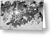 Bw Lens Flare Hanging Thompson Grapes Sultana Greeting Card