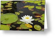 Bwca Water Lily Greeting Card