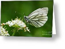 Cabbage Butterfly Greeting Card