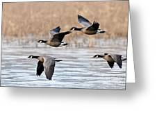 Cackling Geese Flying Greeting Card