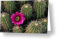 Cactus Flower Greeting Card by Cole Black