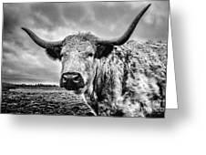 Cadzow White Cow Greeting Card by John Farnan