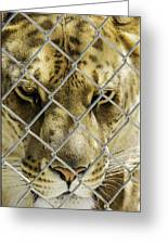 Caged Liger Greeting Card