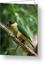 Caique A Tete Noire Pionites Greeting Card