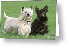 Cairn Terrier And Scottish Terrier Greeting Card