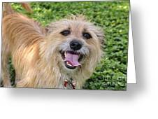 Cairn Terrier Greeting Card by Andres LaBrada