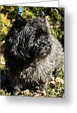 Cairn Terrier Portrait Greeting Card