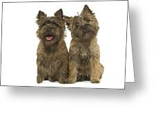 Cairn Terriers Greeting Card