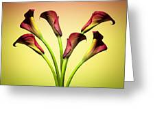 Cala Lily 6 Greeting Card