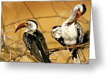 Calao A Bec Rouge Tockus Erythrorhynchus Greeting Card