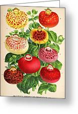 Calceolaria From A Vintage Belgian Book Of Flora. Greeting Card