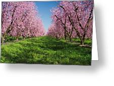 California Peach Tree Orchard  Greeting Card