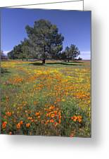 California Poppy And Eriophyllum Greeting Card