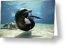 California Sea Lion Yawning Greeting Card by Hiroya Minakuchi