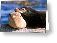 California Sea Lions Greeting Card by Mark Newman