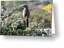 California Thrasher On Rosemary Greeting Card